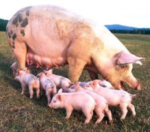 Guide To Start A Lucrative Pig Farming Business