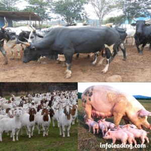 How to improve livestock farming in Nigeria