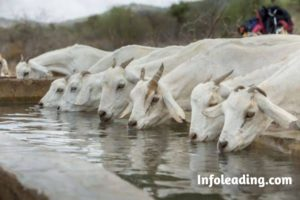 Importance Of Water To Livestock Animals