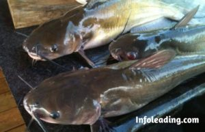 How To Start A Profitable Cat Fish Farming Business