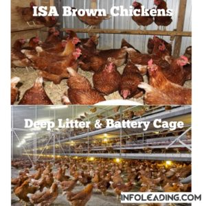 ISA brown chicken breed