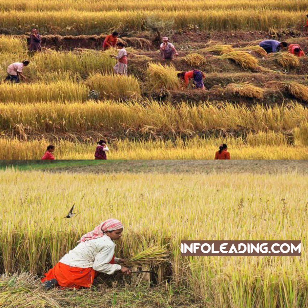 Rice harvesting and production