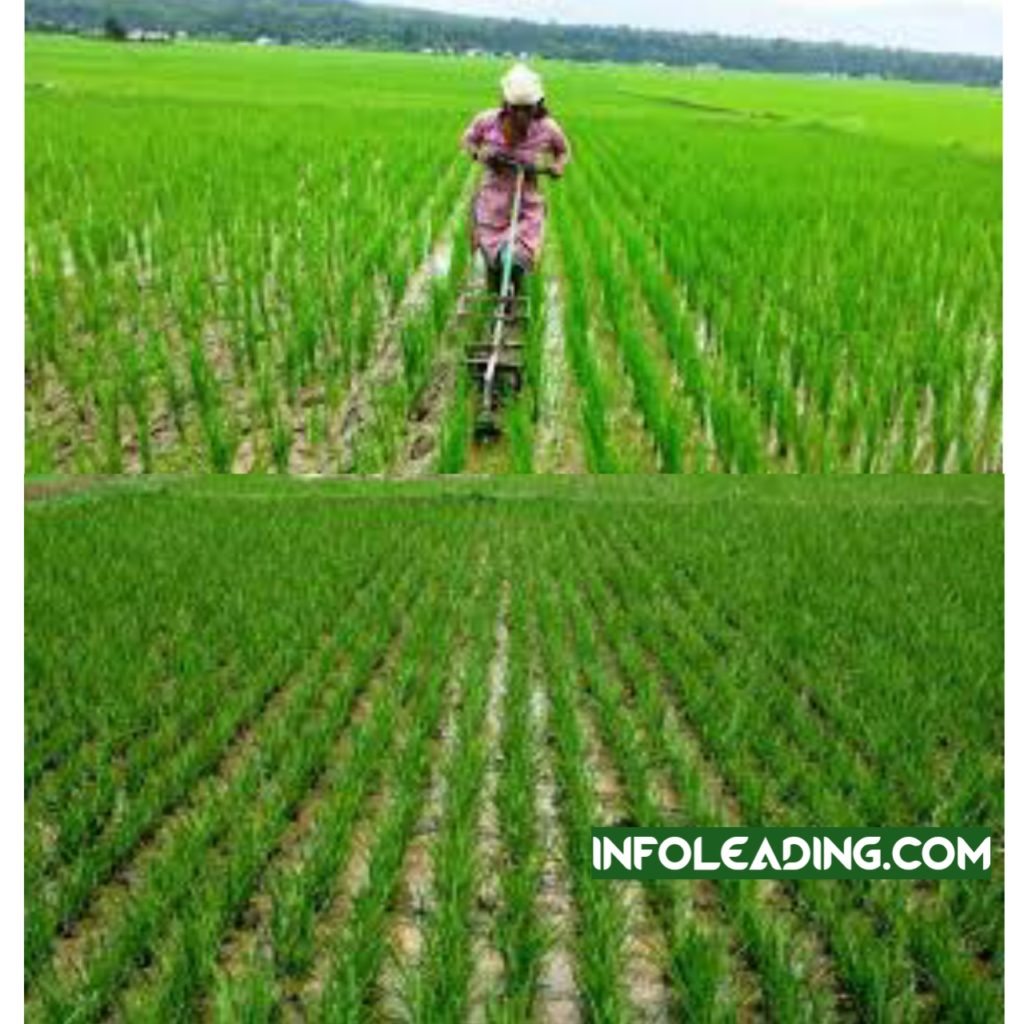 How to start rice farming business in Nigeria